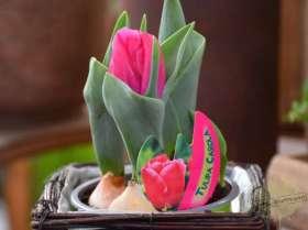 johs-wortmann-blumenzwiebeln-tulpe-carola