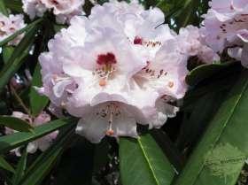 johs-wortmann-baumschule-hamburg-moorbeet-rhododendron-calophytum