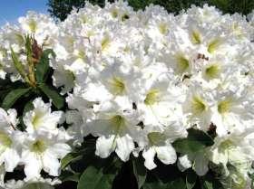 johs-wortmann-baumschule-hamburg-moorbeet-rhododendron-dufthecke