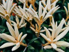 johs-wortmann-baumschule-hamburg-moorbeet-rhododendron-edelweiss