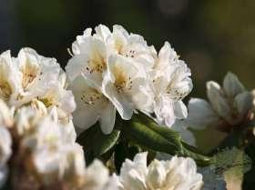 johs-wortmann-baumschule-hamburg-moorbeet-rhododendron-eskimo