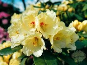 johs-wortmann-baumschule-hamburg-moorbeet-rhododendron-flava