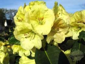 johs-wortmann-baumschule-hamburg-moorbeet-rhododendron-friesiane