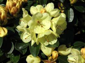 johs-wortmann-baumschule-hamburg-moorbeet-rhododendron-graf-lennart