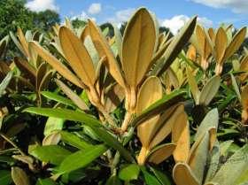 johs-wortmann-baumschule-hamburg-moorbeet-rhododendron-hydron