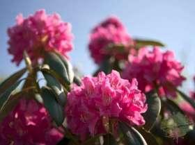 johs-wortmann-baumschule-hamburg-moorbeet-rhododendron-i-s-pink