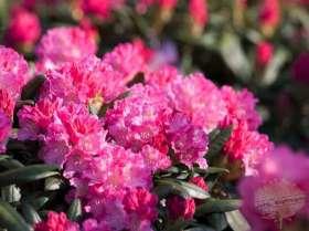 johs-wortmann-baumschule-hamburg-moorbeet-rhododendron-i-s
