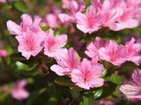 johs-wortmann-baumschule-hamburg-moorbeet-rhododendron-japanische-azalee