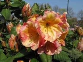 johs-wortmann-baumschule-hamburg-moorbeet-rhododendron-macarena