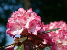 johs-wortmann-baumschule-hamburg-moorbeet-rhododendron-pink-cherub