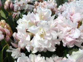 johs-wortmann-baumschule-hamburg-moorbeet-rhododendron-queen-anne