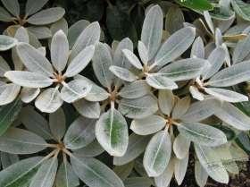 johs-wortmann-baumschule-hamburg-moorbeet-rhododendron-silvervelour