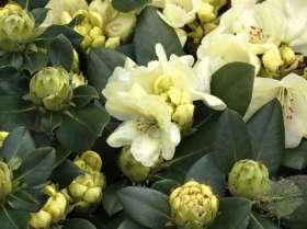 johs-wortmann-baumschule-hamburg-moorbeet-rhododendron-stadt-westerstede