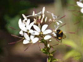 johs-wortmann-baumschule-hamburg-staude-bienenweide-spinnenblume
