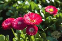 Bellis Gänseblümchen Marmelblümchen Zwiebelpflanze Frühblüher