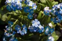 Vergissmeinnicht Myosotis Frühlingspflanze Wortmann Gartencenter