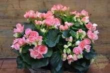 Begonie Eliator rosa-gefüllt Zimmerpflanze Wortmann Gartencenter