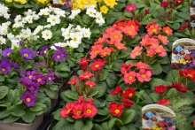 Teppichprimel Primula Frühlingsstaude mehrjährig Bienenweide Wildblume