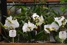Orchidee Phalaenopsis Liebhabersorte weiß Wortmann Shop