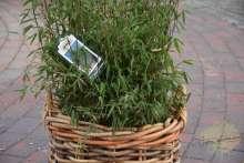 Bambus Fargesia Gartenpflanze Sichtschutz Wortmann