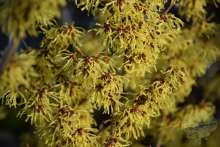 Zaubernuss Hamamelis Winterblüte Duft Gartenpflanze Wortmann