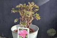 Pfingstrose Strauchpfingstrose Paeonie Gartenpflanze Shop Wortmann