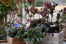 Lenzrose Helleborus immergrün Bienenweide Wortmann Gartencenter