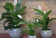 johs-wortmann-gartencenter-shop-zimmerpflanzen-spathiphyllum