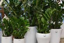johs-wortmann-gartencenter-shop-zimmerpflanzen-zamioculcas-glcksfeder